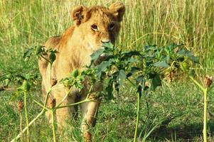 leeuwenwelpen in masai mara foto