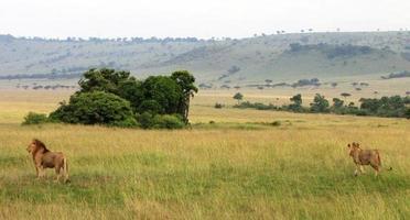 savanne, trots van leeuwen foto
