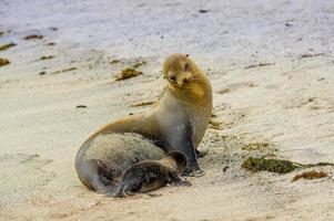 zeeleeuw in san cristobal galapagos eilanden foto