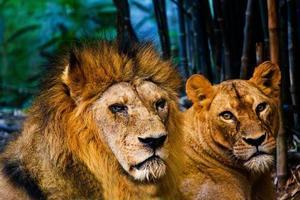 mannelijke leeuw foto