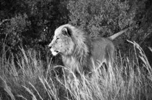 leeuw op jacht foto