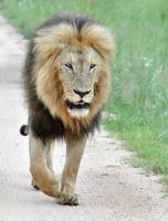afrika leeuw foto