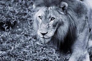 leeuw portret foto