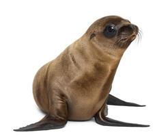 jonge california zeeleeuw, zalophus californianus, wegkijken foto