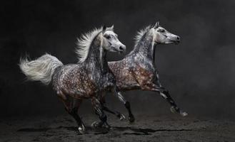 twee grijze Arabische paarden galopperen