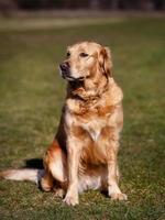 rasechte hond die weg van camera kijkt foto