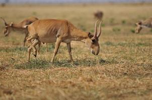 saiga-antilope foto