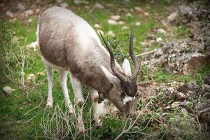 antilope foto
