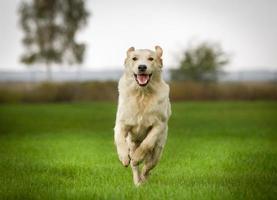 golden retriever hond op zonnige dag foto