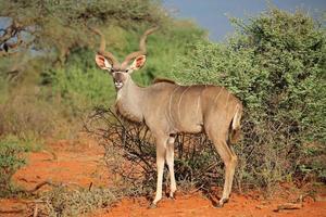kudu antilope foto