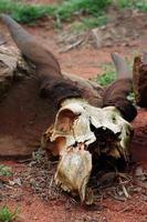 antilope schedel foto