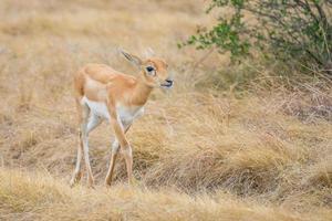 antilope kalf foto