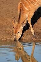 nyala antilopen drinken foto