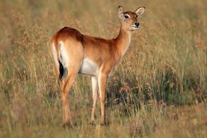 rode lechwe antilope foto