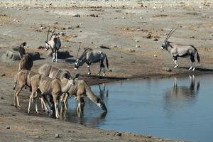 antilopen op het watergat foto