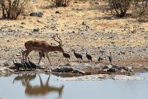 impala met zwarte gezichten in etosha park namibia foto