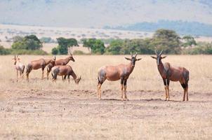 topis in de savanne foto