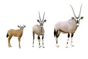 oryx geïsoleerd foto