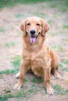 golden retriever 6 maanden oude puppy foto