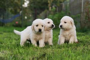 golden retriever puppy's. foto
