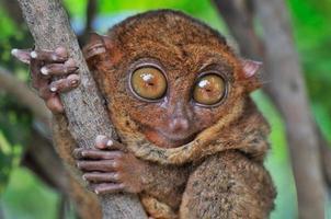 tarsier met grote ogen foto