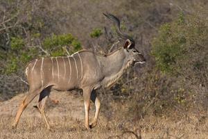 kudu stier foto