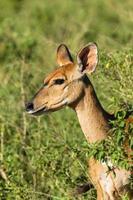 Buck kalf dieren in het wild foto