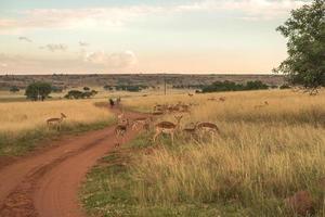 impala (antilope), nationaal park ezemvelo. Zuid-Afrika. 27 maart 2015 foto