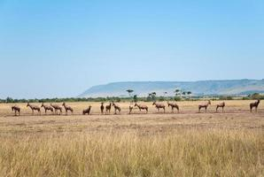 rij topis in de savanne foto