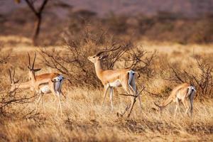 impala antilopen die op het graslandschap lopen, Afrika foto