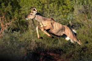 vrouwelijke kudu-koe springt en pronkt in deze afbeelding. foto