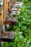 bijenkorven in een bijenstal met bijen die op landingsplanken vliegen