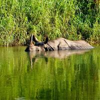 neushoorn baadt in rivier in chitwan nationaal park foto