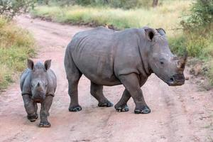 mama en baby witte neushoorns foto