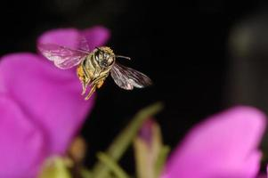 honingbij foto