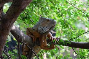 bruine leguaan op boom foto