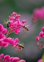 bijen op klimplant foto