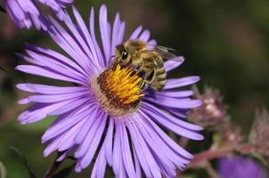 honingbij op aster foto