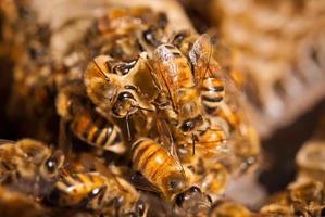 close-up van honingbijen