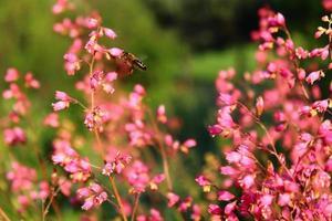 koraalbellen en een honingbij foto