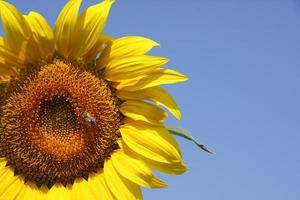 zonnebloem en bij foto