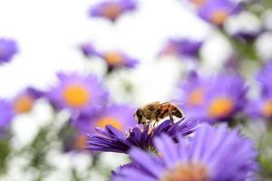 bijen voeden met aster bloesem