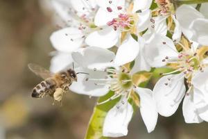 bijen bestuiven foto