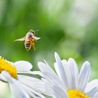 honingbij tijdens de vlucht foto