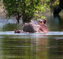 nijlpaard aan het meer foto