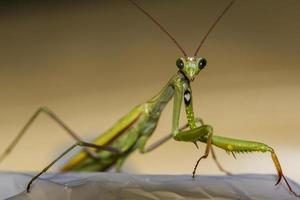 macro groene bidsprinkhaan van voren gezien foto