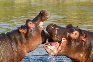 twee vechten jonge mannelijke nijlpaard nijlpaard foto