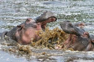 nijlpaarden foto
