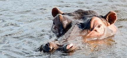 nijlpaard hoofd foto