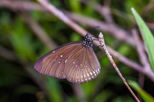 blauwe koningskraai vlinder foto